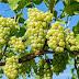 Manfaat Sehat Rutin Mengkonsumsi Anggur