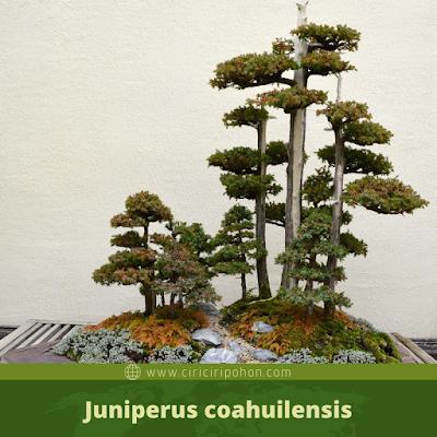 Juniperus coahuilensis