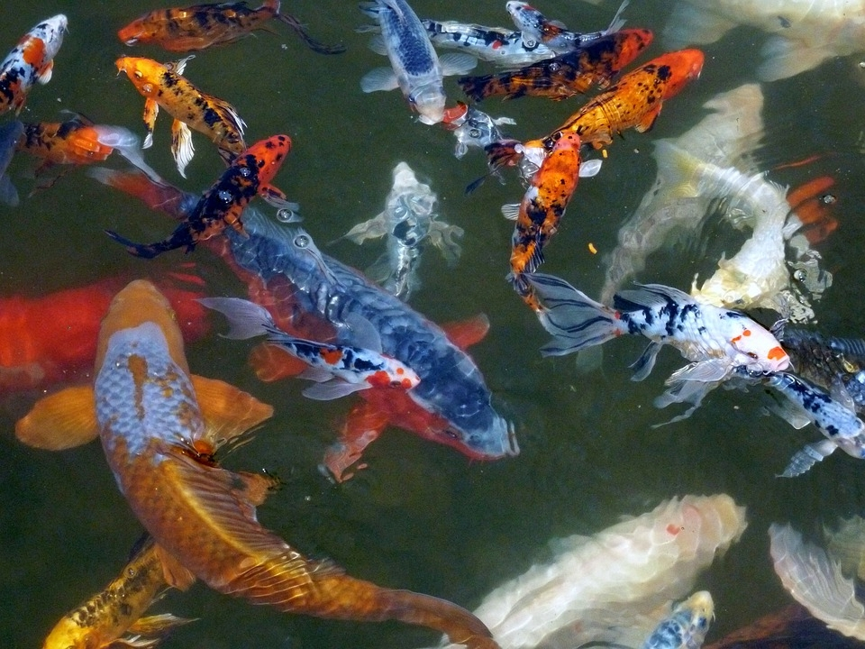 Supplier Ikan Mas Bibit Konsumsi, dan Hias  di Yogyakarta