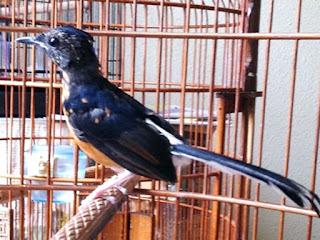 Burung Murai Batu - Mabung Membuat Burung Murai Batu Stres dan Burung Murai Batu Mabung Tahunan-Penangkaran Burung Murai Batu