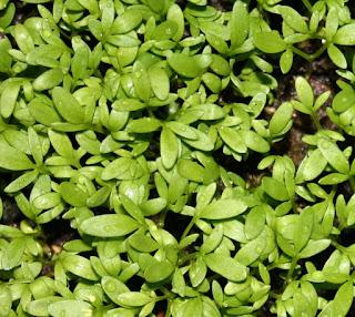 Tanaman alim ialah tanaman salad yang sering kita jumpai disekitar kita Manfaat dan Khasiat Tanaman Alim (Lepidium Sativum L)
