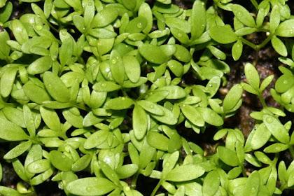 Manfaat Dan Khasiat Tanaman Alim (Lepidium Sativum L)