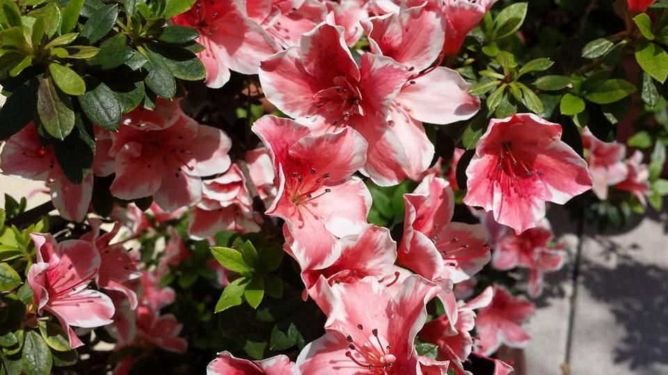 Pensare in un 39 altra luce le azalee un dono a mia mamma - Il giardino di elizabeth ...