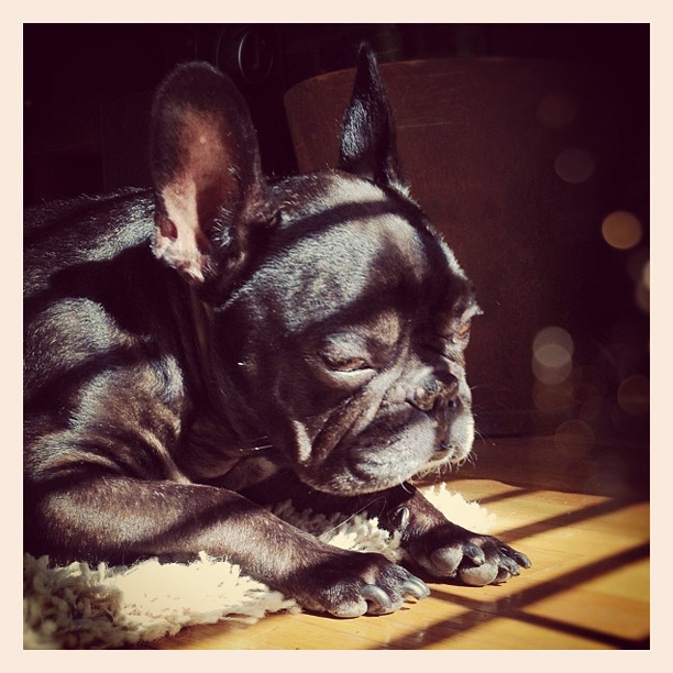 leroy in the sun, black french bulldog