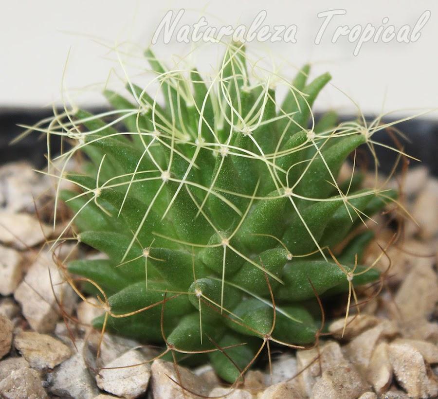 Vista lateral del cactus Nido de Pájaro, Mammillaria decipiens camptotricha