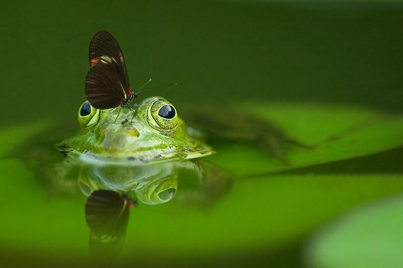 Anfíbio com uma borboleta na cabeça