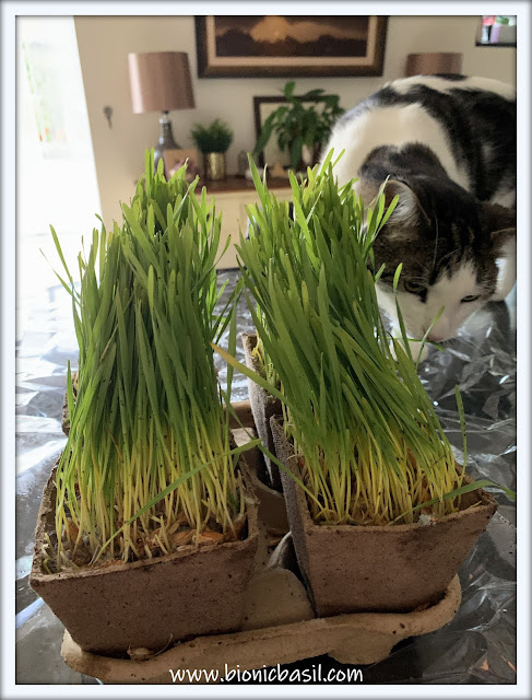 What's In The Box ©BionicBasil® My Cat Grass with Melvyn 1