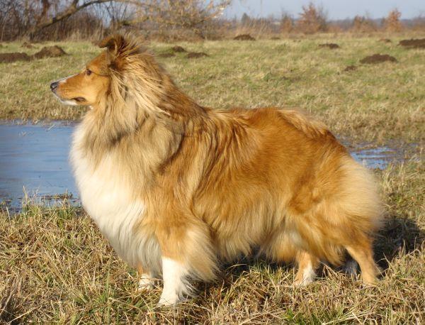 Chó Shetland Sheepdog