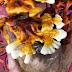 Ganoderma multipileum