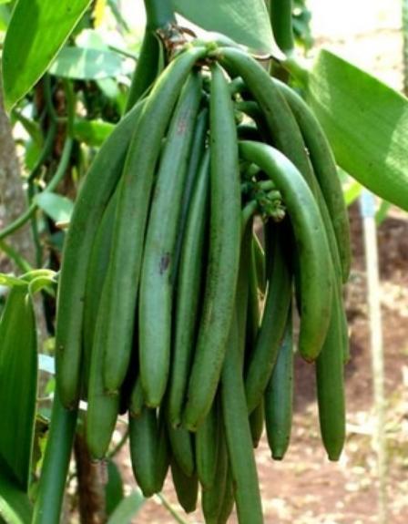 Vanili (Vanilla planifolia) - 10 Contoh Tumbuhan Monokotil Beserta Gambar dan Ciri-Cirinya Lengkap