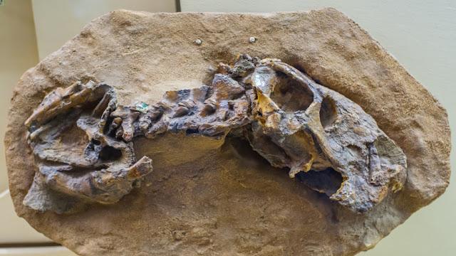 esqueleto de um raro dinossauro