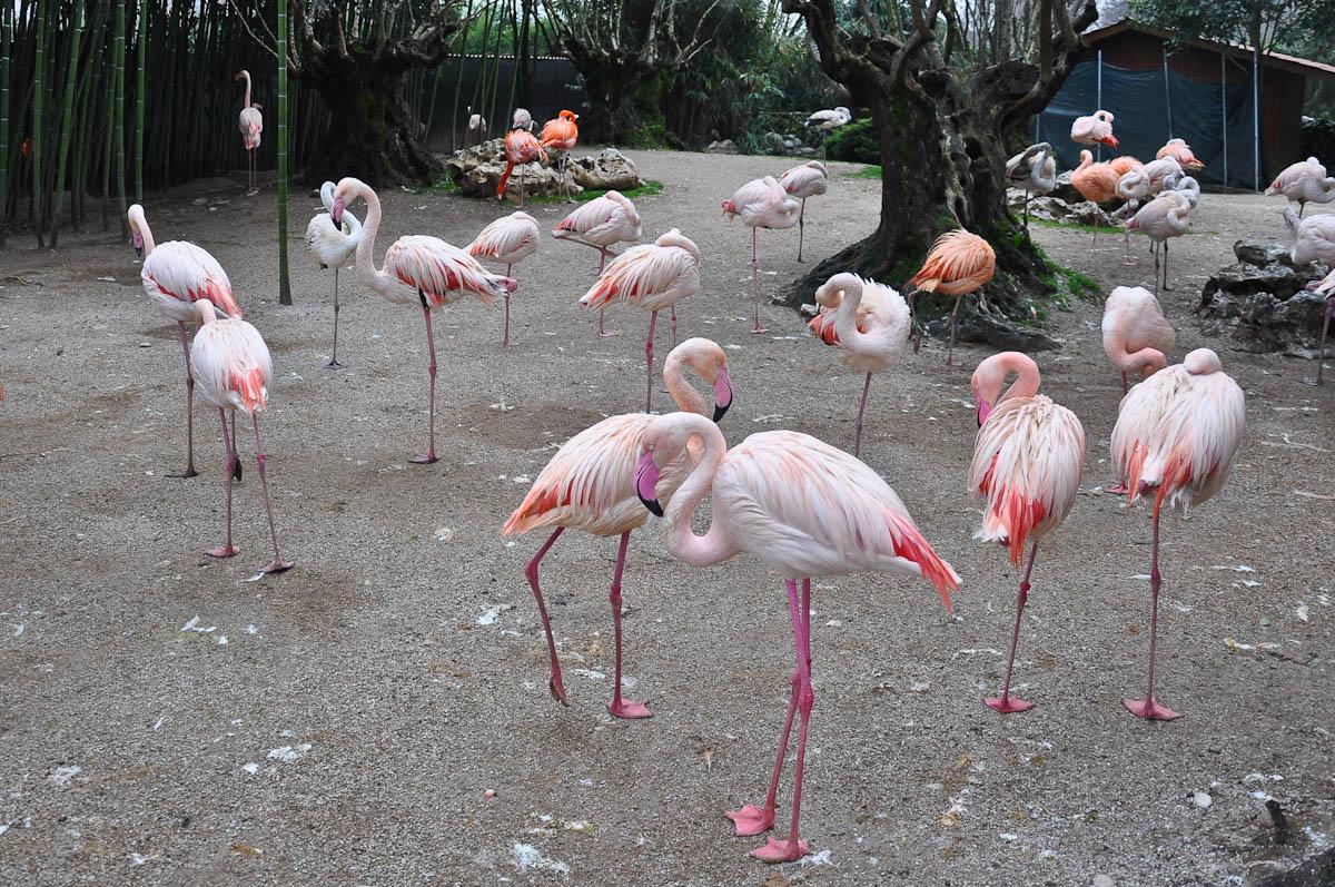 Flamingoes, Parco Faunistico Cappeller, Nove, Veneto, Italy