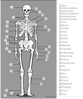 मानव कंकाल तंत्र क्या होता है