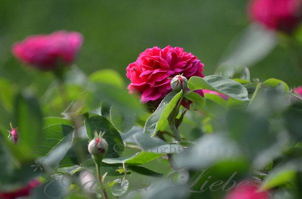 garten liebe die ersten rosen bl hen rose de resht. Black Bedroom Furniture Sets. Home Design Ideas