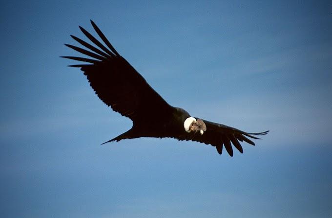 Cóndor en Neuquén vuela para saludar a quien lo salvó