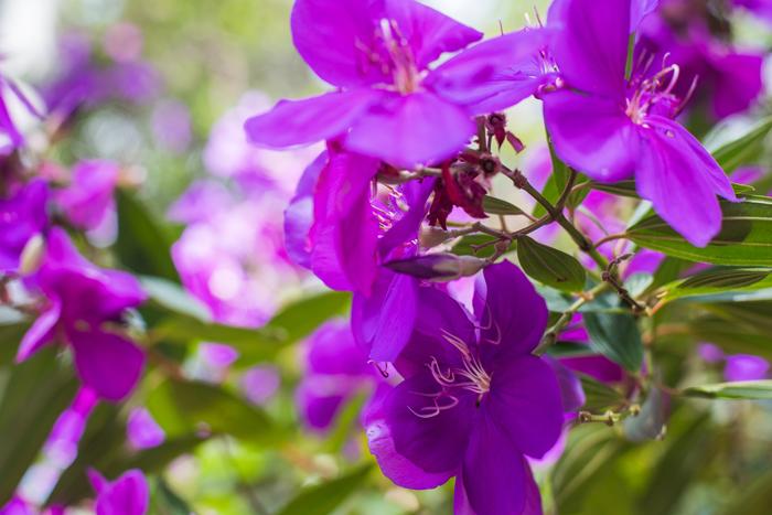 Tibouchina purple flowers