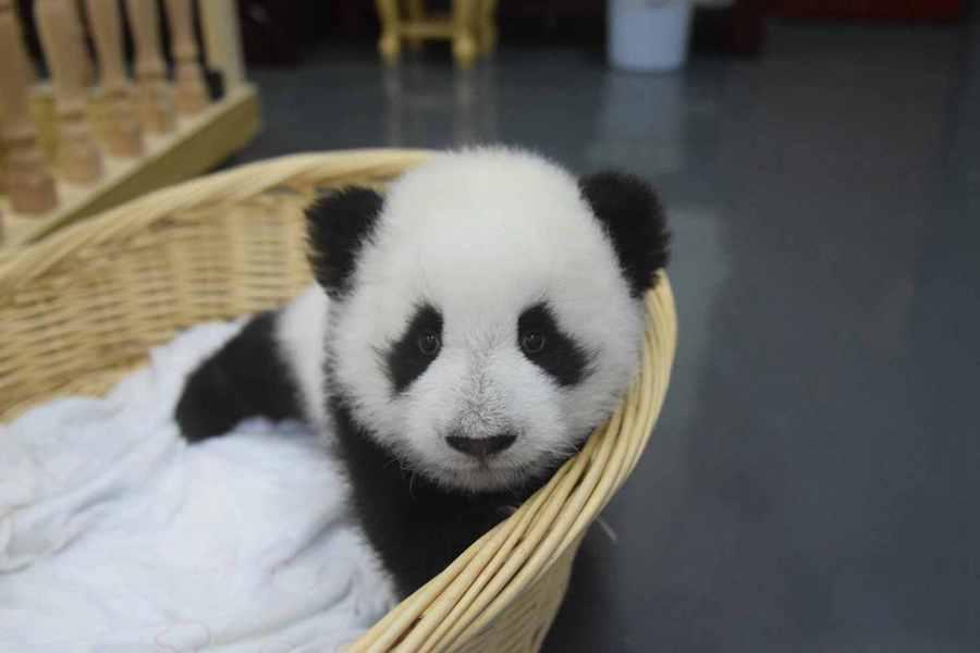 Foto 36 Anak Panda Panda Lucu Yang Masih Kecil Liat Aja