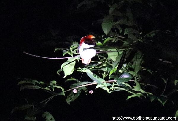 Burung Surga Raja di hutan Susnguakti Manokwari