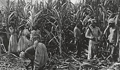 Escravos trabalhando canavial rum