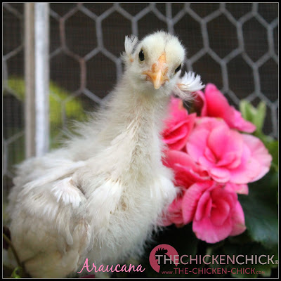 true Araucana chick
