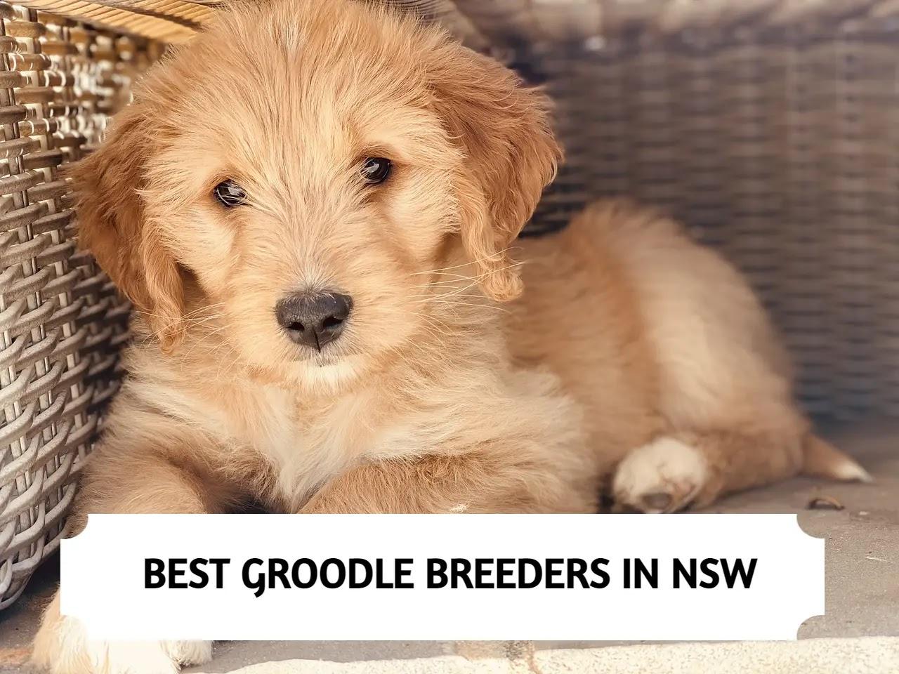 Best Groodle Breeders in NSW