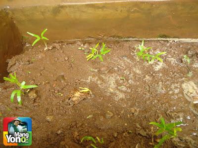 Ini tanaman kangkung yang sudah berumur 7 hari dari penanaman