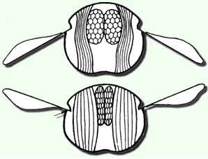 Plano de las alas de una abeja