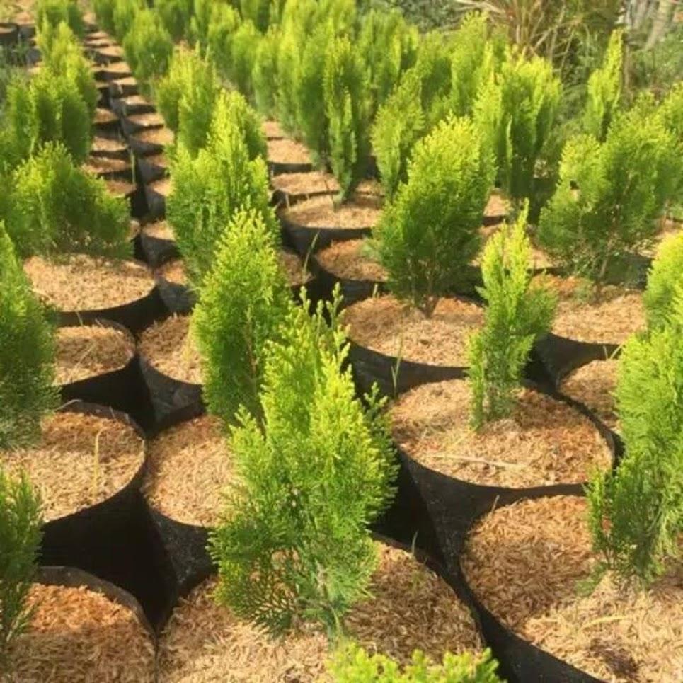 Tanaman Hias Pohon Cemara Kipas Serang