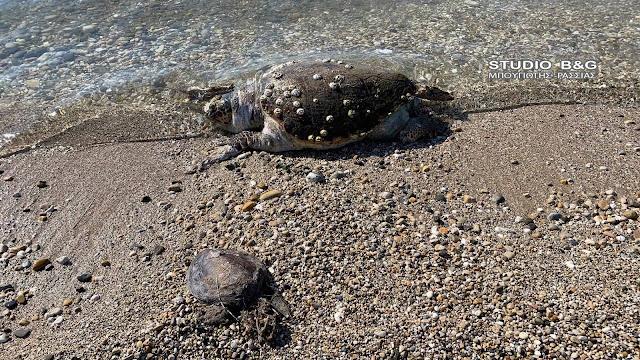 Τραγικό: Δυο νεκρές χελώνες ξεβράστηκαν σε παραλία της Αργολίδας