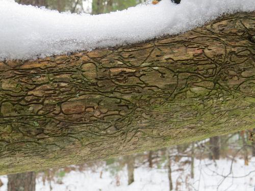 pine bark beetle galleries