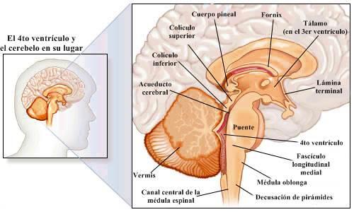 Anatomía del sistema nervioso central cerebro cerebelo