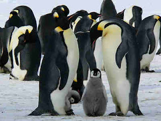 Penguin Tidak Kalah Setia Dengan Merpati