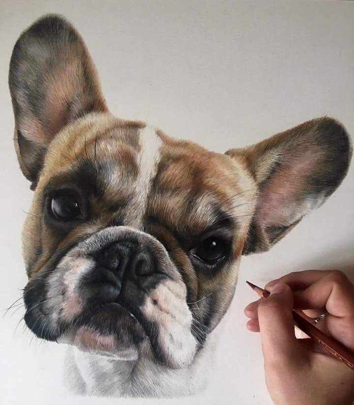 09-French-Bulldog-Bethany-Vere-Colored-Pencils-Realistic-Animal-Drawings-www-designstack-co