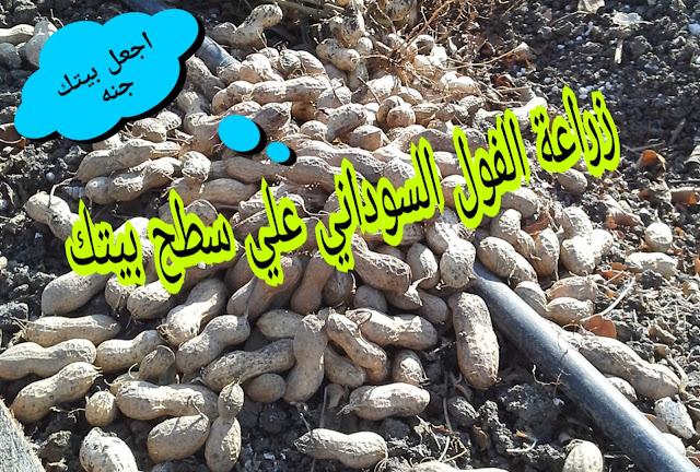 تعلم كيفية زراعة الفول السوداني على سطح منزلك.!!