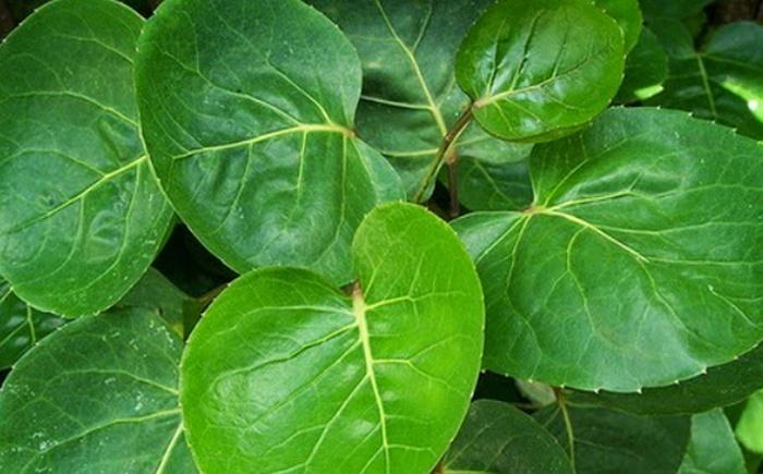 daun mangkokan untuk rambut, daun mangkokan english, klasifikasi daun mangkokan, manfaat daun mangkokan untuk rambut, manfaat daun mangkokan daun seledri, daun waru, tanaman mangkokan