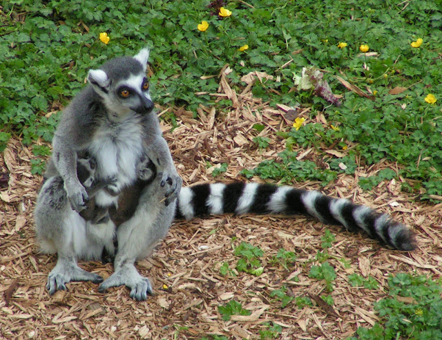 Lemur facts and information 9