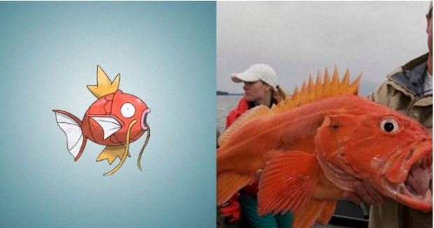 Magikarp looks just like the yellow rockfish