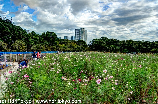 flower field at Hamarikyu gardens