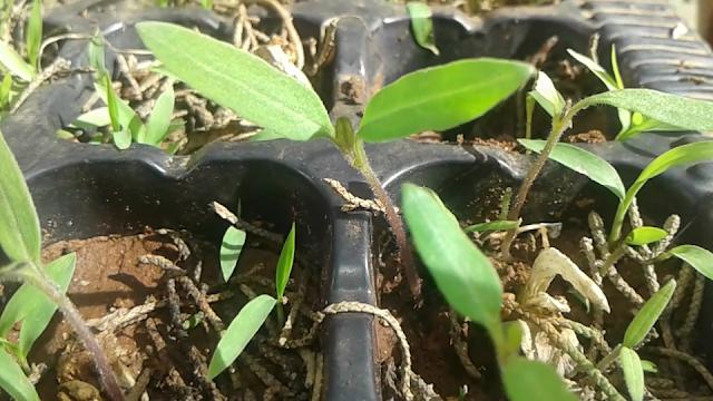 زراعة بلكونة