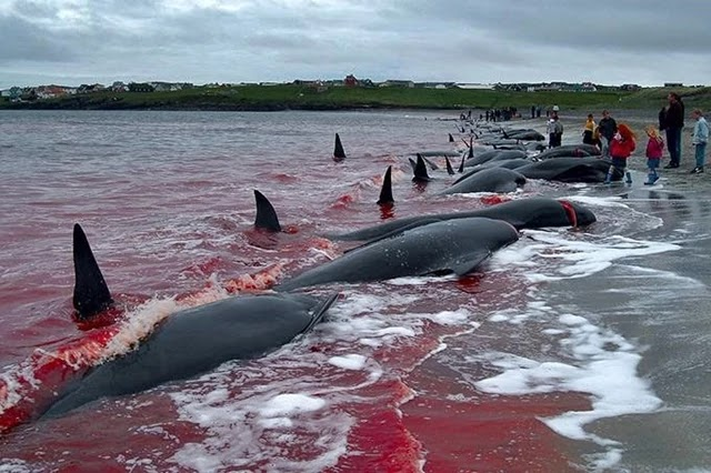O vídeo publicado no Twitter pelo presidente Jair Bolsonaro, que mostra cenas de uma caça em massa de baleias abatidas na praia, para atacar a Noruega