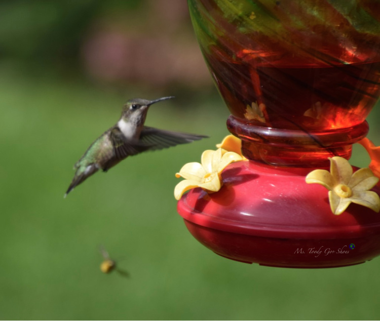Backyard Birding: Hummingbird   _ Ms. Toody Goo Shoes