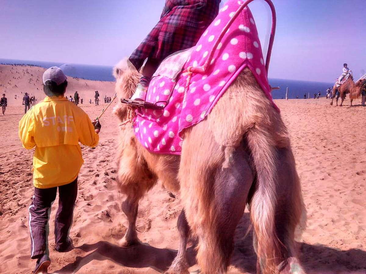 小さな子供を乗せて歩く鳥取砂丘のラクダ。