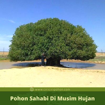 Pohon Sahabi Di Musim Hujan