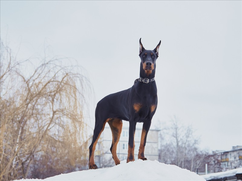 Dogs Doberman