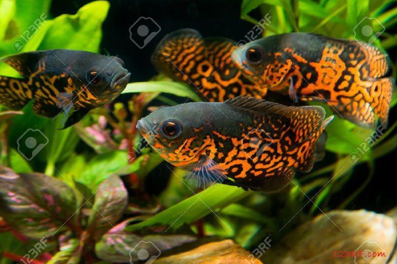Gambar Dan Foto Makanan Ikan Oscar Yang Baik Untuk Warnanya