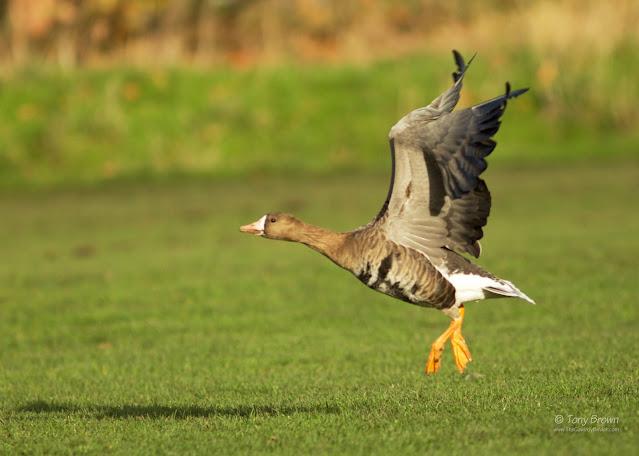 Albifrons, Wild Grey, Geese