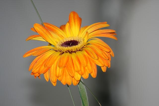 y nghia hoa dong tien vang