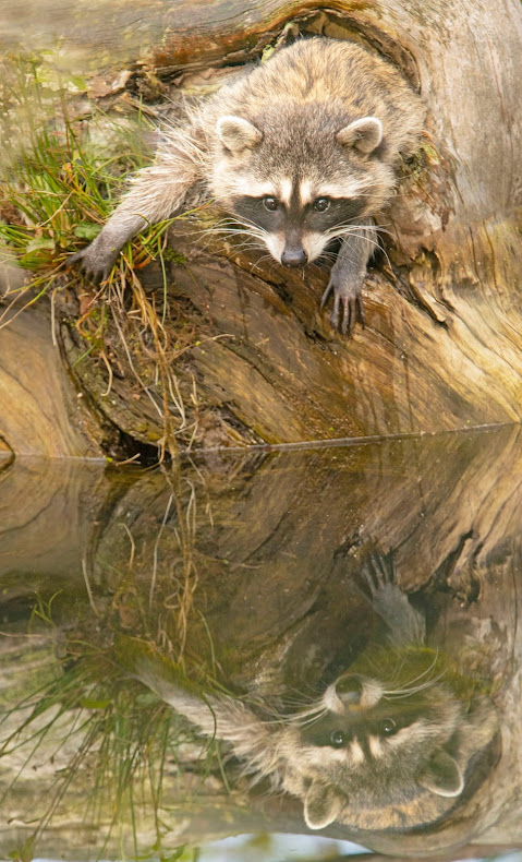 A raccoon sprawls part way down a bank leading to water with a perfect reflection in the water