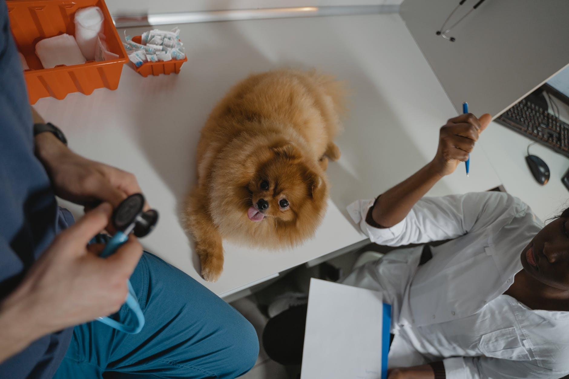 Distemper et autres maladies hivernales chez les chiens