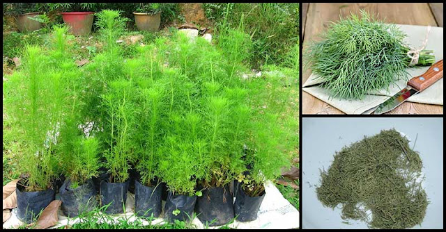Health Benefits And Medicinal Uses Of Dill